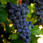 redgrapes for advcentral (thumb).jpg